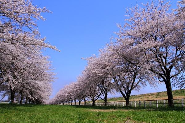 水沢競馬場の桜並木