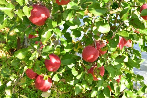 紫波地区のりんご