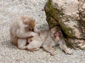 野猿公苑の猿