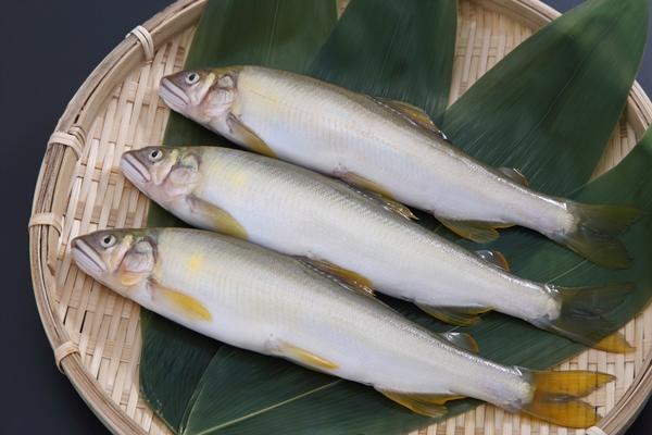 久慈川で鮎やな漁