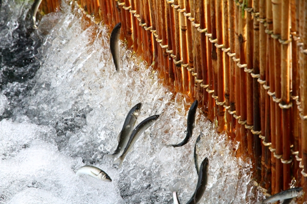 鮎のやな漁