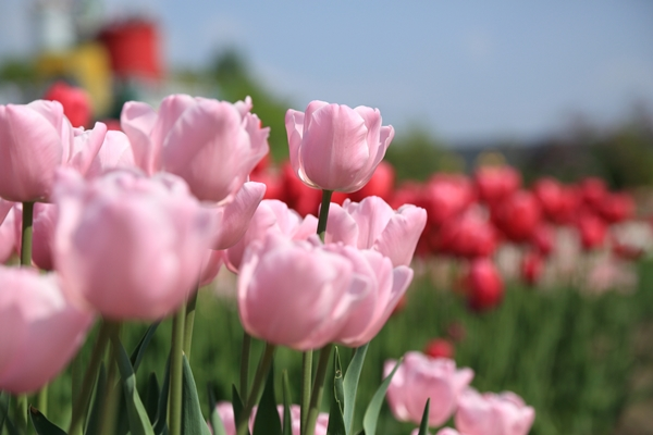チューリップの花きや球根も