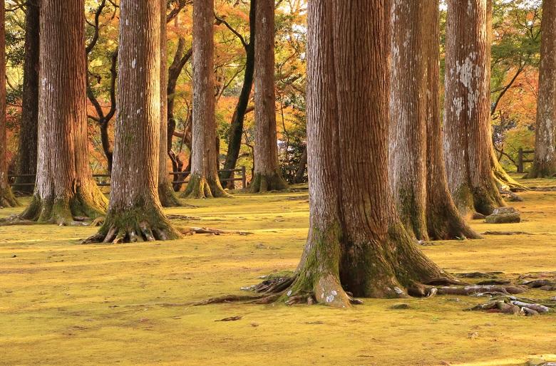 飫肥杉(おびすぎ)