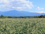 菅生のコーン畑