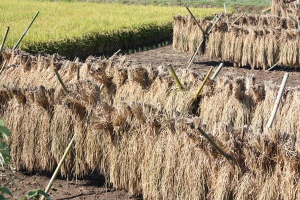 泗水町のお米