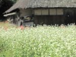 猪名川町のそば畑