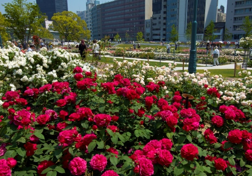 rose_nakanoshima