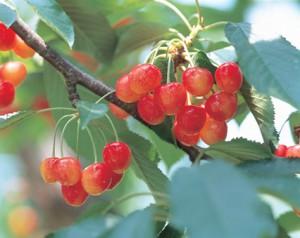 yamagata_cherry