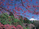 岩本山の梅と富士山