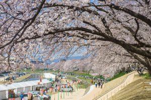 旭川河川敷の桜