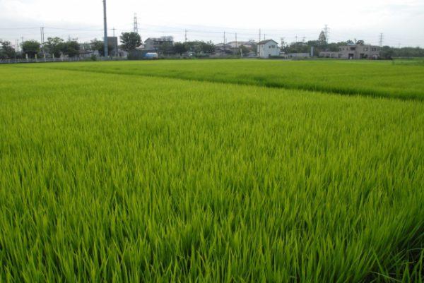 杉戸町の田園風景
