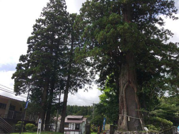 バス停前の杉の巨木