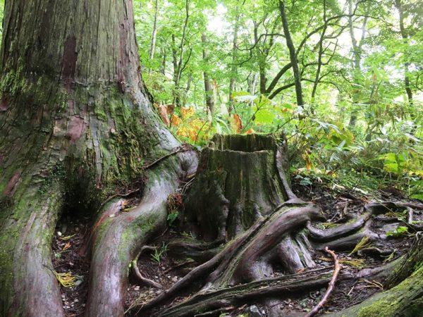 樹齢400年を超す杉の木がたくさん