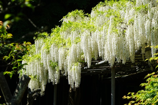 英勝寺の白藤