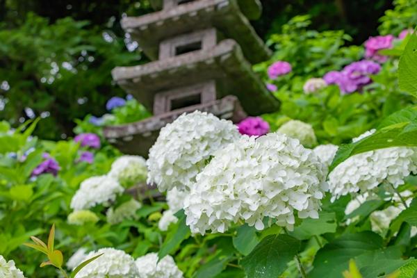 紫陽花寺としても有名な長谷寺