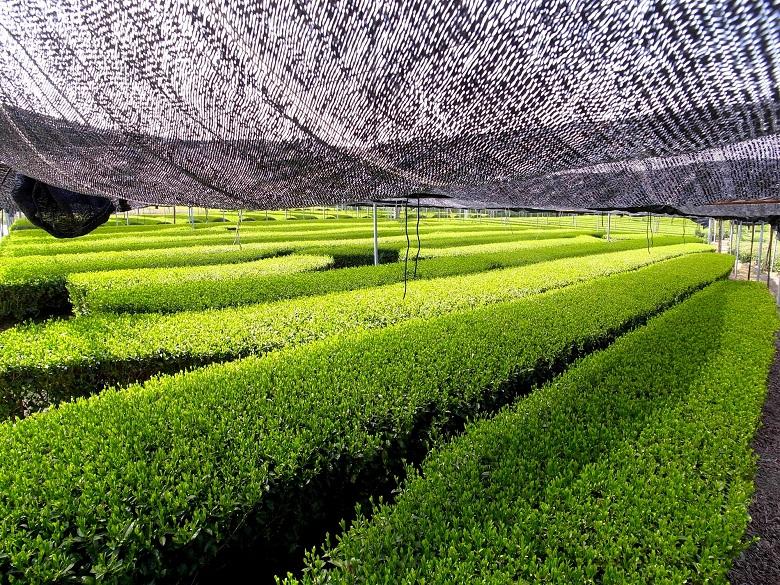西尾の抹茶畑