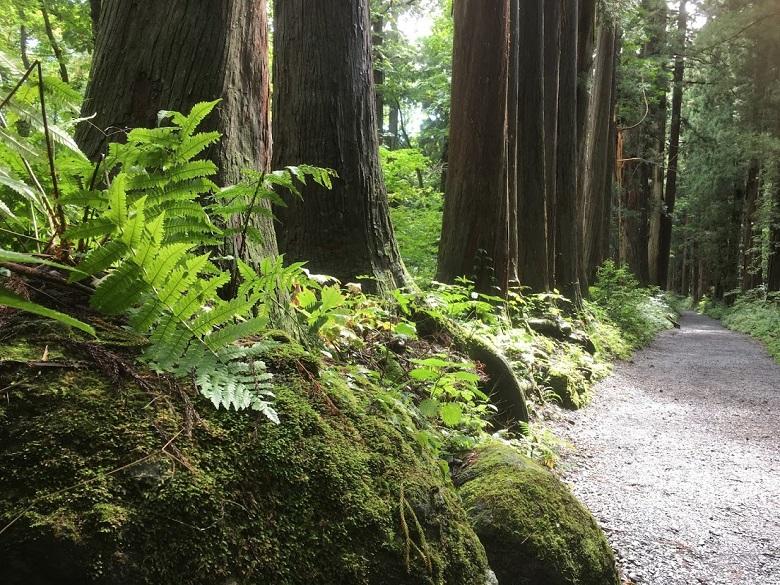 戸隠の杉林(参道)