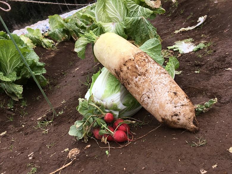 収穫した野菜をお持ち帰り