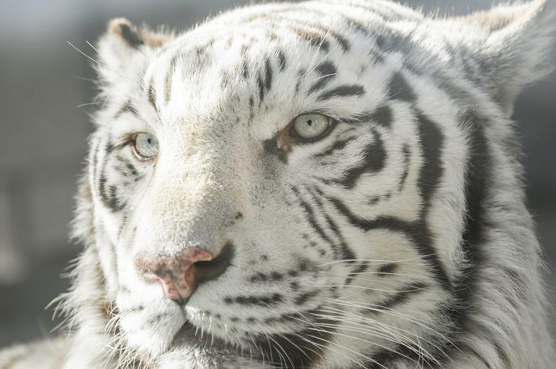 東武動物公園ホワイトタイガー