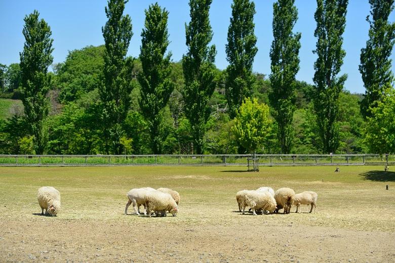 ブルーメの丘の羊