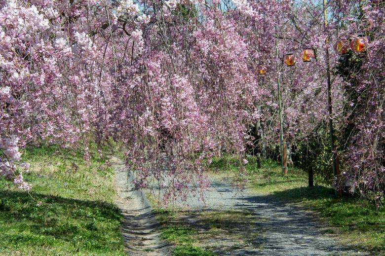 たけべの森公園の枝垂れ桜